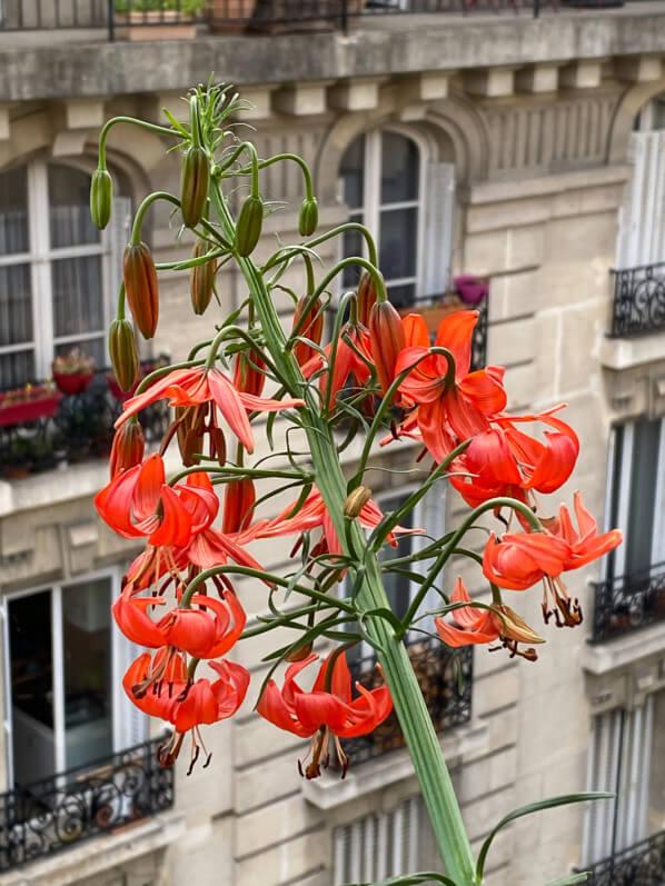 Lis écarlate, Lilium pumilum, Lilium tenuifolium, plante bulbeuse au printemps sur mon balcon parisien, Paris 19e (75)