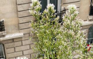Centranthus ruber 'Albus', graines et fleurs, au printemps sur mon balcon parisien, Paris 19e (75)