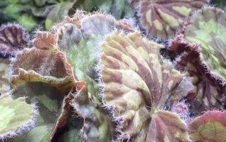 Begonia mashanica, Bégoniacées, plante d'intérieur, Paris 19e (75)