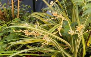 Chlorophytum saundersiae 'Starlight' en été sur mon balcon parisien, Paris 19e (75)