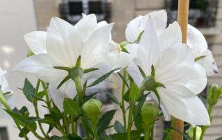 Platycodon grandiflorus 'Hakone White' en été sur mon balcon parisien, Paris 19e (75)