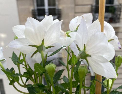 Pleine floraison du Platycodon grandiflorus 'Hakone White'