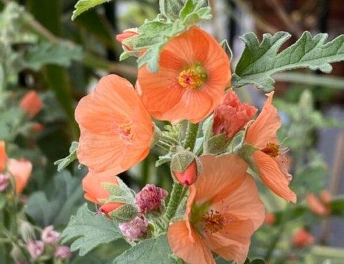 Profusion de fleurettes sur Sphaeralcea 'Childerley'