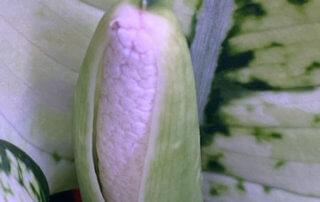 Aglaonema 'Super White', floraison, Araceae, plante d'intérieur, Paris 19e (75)