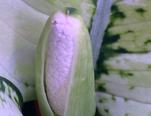 Floraison de mon aglaonéma 'Super White'