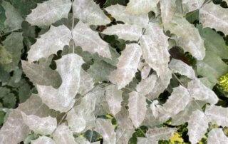 Blanc (oïdium) sur mahonia en été dans le jardin du Moulin-de-la-Pointe, Paris 13e (75)