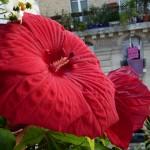 Hibiscus 'Fireball' sur mon balcon en été, Paris 19e (75)