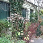 Viorne d'hiver (Viburnum x bodnantense 'Dawn') dans la Villa de l'Ermitage en hiver Paris 20e (75)