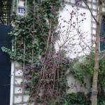 Fruits de callicarpa, Villa de l'Ermitage en hiver Paris 20e (75)