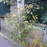 Chèvrefeuille arbustif à floraison hivernale (Lonicera fragrantissima)