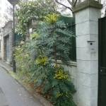 Mahonia dans la Villa de l'Ermitage en hiver Paris 20e (75)
