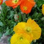 Plante vivace à floraison printanière : Papaver nudicaule