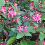 Arbuste à floraison printanière : Lonicera tatarica 'Arnold Red'