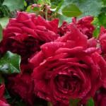 Rose République de Montmartre (création Delbard), Paris 18e (75)